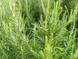 Sementes De Alecrim Rosmarinho Rosmarinus Officinalis  - BELLI PLANTAS