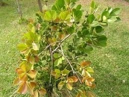 Sementes De Araça Amarelo 30 unid Anão Psidium Cattleyanum Fruta  - BELLI PLANTAS