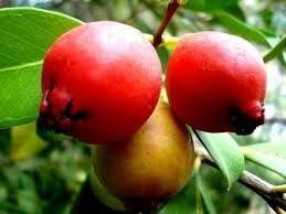 Sementes De Araça Vermelho 30 unid Rosa Psidium Cattleyanum Fruta  - BELLI PLANTAS
