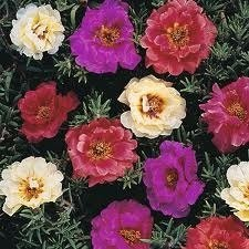 Sementes De Onze Horas Dobrada Portulaca Grandiflora  - BELLI PLANTAS