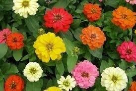 Sementes De Zinnia Gigante Da California Flores Sortidas  - BELLI PLANTAS