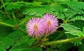 Sementes De Mimosa Pudica Dormideira Dorme-dorme Sensitiva  - BELLI PLANTAS