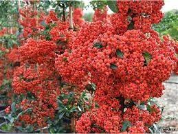 Sementes De Piracanta Vermelha Pyracantha Coccinea  - BELLI PLANTAS
