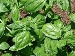 Sementes De Manjericão Basílico Alfavaca Cheiro  - BELLI PLANTAS