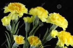 Sementes De CravoS GiganteS Amarelos  - BELLI PLANTAS
