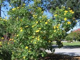 Sementes De Girassol Mexicano Apícola Thitonia Diversifolia  Flor Do Amazonas Boldo Japones  - BELLI PLANTAS