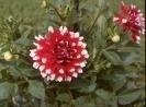 Bulbos De Dálias Dobradas Duas Cores Vermelha Dahlia Gigante  - BELLI PLANTAS