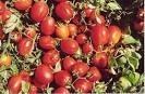 Sementes De Tomate Cereja Vermelho Cerejinha Trepador 100 sementes  - BELLI PLANTAS