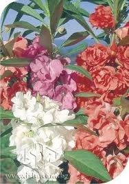Sementes De Balsamina Dobrada Sortidas Beijo De Frade Flor Sementes