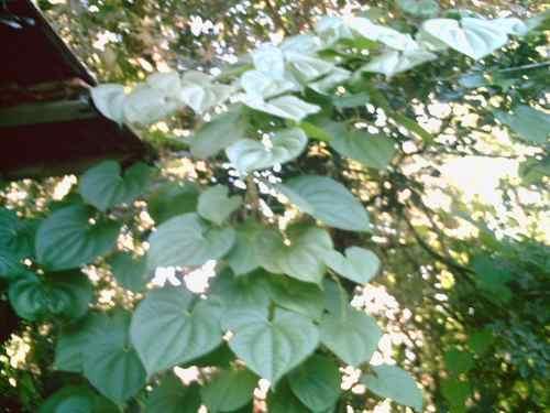 Bulbos De 04 Cará Do Ar Pedra Moela Dioscorea Bulbifera Rama Cará voador Cará borboleta Cará Chinês Cará-moela / Cará-do-ar (legume Exótico) Cará Insulina Cará da Terra Inhame  - BELLI PLANTAS