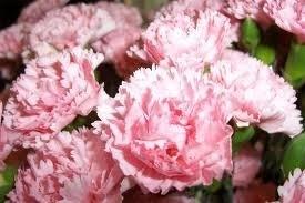 Sementes De Cravos Gigantes Rosa  - BELLI PLANTAS