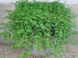 Sementes De Poejo Hortelazinha Mentha Pulegium  - BELLI PLANTAS