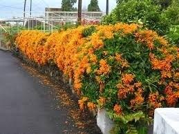 Mudas De Cipó De São João Laranja Bela Flor Pé Lagartixa Lagarto Pyrostegia venusta  - BELLI PLANTAS