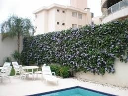 Mudas De Trepadeira Tumbergia Azul Azulzinha Grandiflora -temos a ALBA  - BELLI PLANTAS