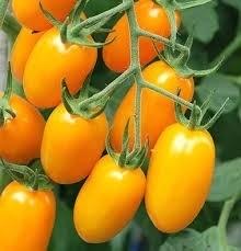 Sementes De Tomate Uva Amarelo   - BELLI PLANTAS
