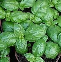 Sementes De Manjericão Genovese Genoves  - BELLI PLANTAS