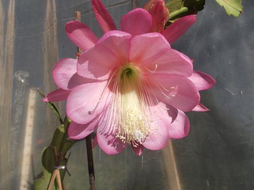 Mudas De Dama Da Noite Rosa Epiphyllum Gigante Flirtation Cactos Orquídea  - BELLI PLANTAS