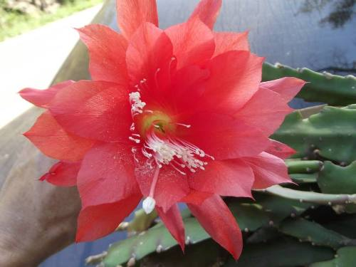Mudas De Dama Da Noite Vermelha Epiphyllum Gigante Ackermani Cactos Orquídea  - BELLI PLANTAS