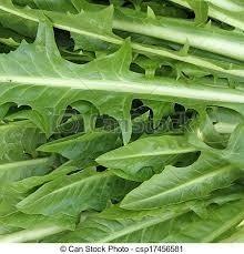 Sementes De Chicoria Catalogna Radiche Italiano Do Mato Verde  - BELLI PLANTAS