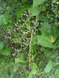 Muda De Cipó Insulina Vegetal Cipo Anil Trepador Apicola  - BELLI PLANTAS