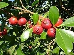 50 Sementes De Araça Vermelho Rosa Frutas Para Passaros  - BELLI PLANTAS