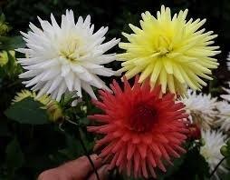 Bulbos De Dálias Cactus Bordo Dahlia Gigante  - BELLI PLANTAS