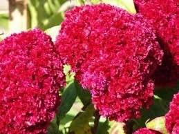 Celósia Cristata Dobrada Suspiro Dobrado Sementes Flor Mudas  - BELLI PLANTAS