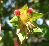 Bulbos De Batata Crem Raiz Amarga Tropaeolum Pentaphyllum  - BELLI PLANTAS