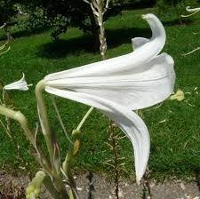 Mudas De Lirio Branco Lilium Candidum Longiflorum Cajado São José Bulbos  - BELLI PLANTAS