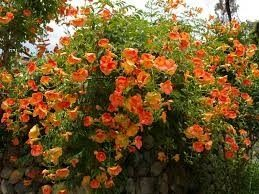 Mudas Da Trepadeira Trombeta Chinesa Vermelha Campsis Grandiflora Trepadeira Trombeta Flava  - BELLI PLANTAS