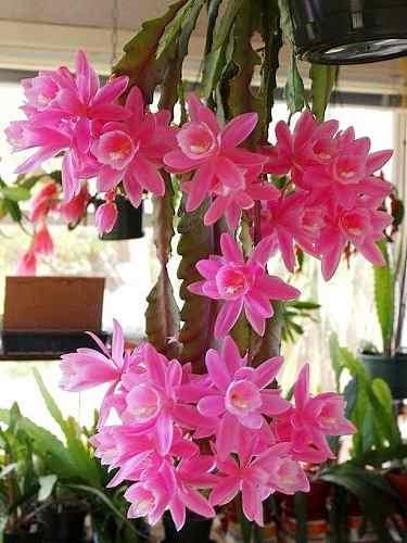 Mudas De Epiphyllum Miss Muffet Rosa Cactos Orquidea Muffet Dama da Noite Imperatriz-alemã  - BELLI PLANTAS