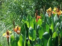 Bulbos de Cana Da Índia Amarela Canna Indica Biri Bananeirinha  - BELLI PLANTAS