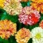 Sementes De Zinnia Liliput Matizada Sortidas Zinia Flor
