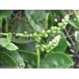 Sementes ou Mudas de Bertalha Alba Bertalha trepadeira Espinafre Indiano Basella Alba Espinafre Malabar