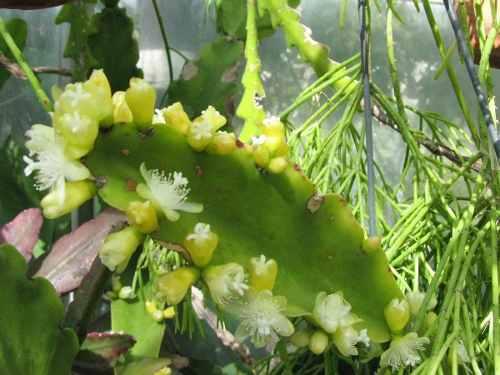 Mudas de Rhipsalis Pachyptera Cactos Pendente De Árvore  - BELLI PLANTAS