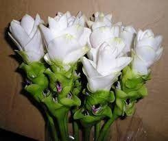 Bulbos De Curcuma Longa branca e 03 bulbos de Curcuma Zedoaria rosa  - BELLI PLANTAS