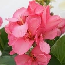 Bulbos De Cana Da Índia Rosa Canna Brejo Biri Bananeirinha  - BELLI PLANTAS