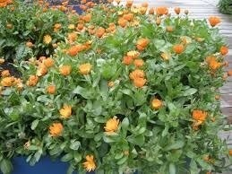 Sementes De Calendula Officinalis 35 unidades de Calêndula  - BELLI PLANTAS