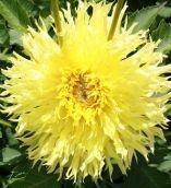 Bulbos De Dálias Amarelo Ouro Picotee Dahlia Gigante  - BELLI PLANTAS