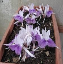 Bulbos de Kananga do Japão Orquídea Da Terra Cananga Flor da Ressurreição  - BELLI PLANTAS