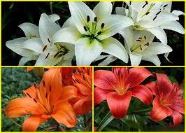 Mudas De Lirio Asiático Vermelho Lilium Hybrido  - BELLI PLANTAS