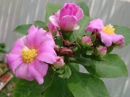 Mudas De Ora Pro Nobis Rosa Pereskia Grandifolia Ora Pro Nobis ornamental flor ROSA  - BELLI PLANTAS