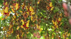 Mudas De Trepadeira Sapatinho de Judia Tumbergia Mysorensis Sapatinho de Boneca  - BELLI PLANTAS