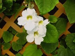 Mudas De Trepadeira Tumbergia Branca Grandiflora Alba  - BELLI PLANTAS