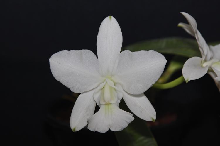 Cattleya walkeriana alba Uberaba  - Orquídeas Terra