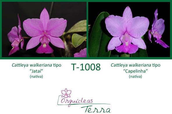 Cattleya walkeriana tipo Jataí X Cattleya walkeriana tipo Capelinha  - Orquídeas Terra