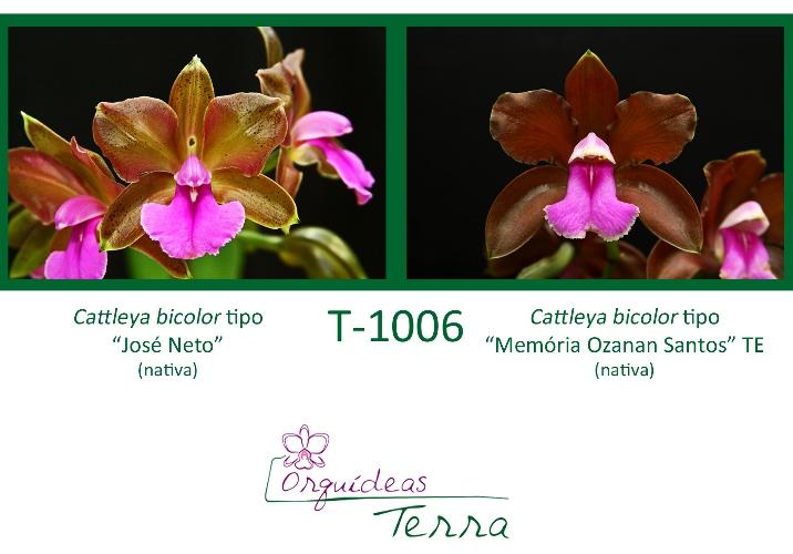 Cattleya bicolor tipo José Neto X Cattleya bicolor tipo Memória Ozanan Santos TE  - Orquídeas Terra