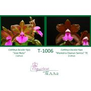 Cattleya bicolor tipo José Neto X Cattleya bicolor tipo Memória Ozanan Santos TE