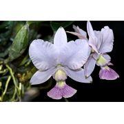 Cattleya walkeriana coerulea Carneiro
