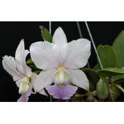 Cattleya walkeriana coerulea Vaidosa TE